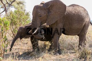 Elefant mit seinem Jungen beim Essen