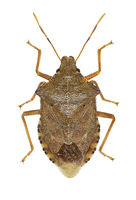 Dock Leaf Bug on white background  -  Arma custos (Fabricius, 1794)