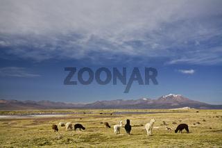 Lamas (Lama glama), Alpakas (Vicugna pacos) am Salzsees Salar de Surire, Chile, llamas and Alpacas in np Lauca at a salt lake