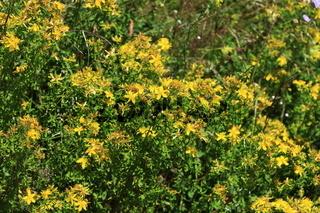 Hypericum polyphyllum, Polster-Johanniskraut, St John´s wort, Aaron´s beard