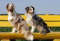 Australian shepherd dogs sitting
