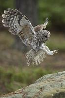 landing on a rock... Tawny Owl *Strix aluco*#