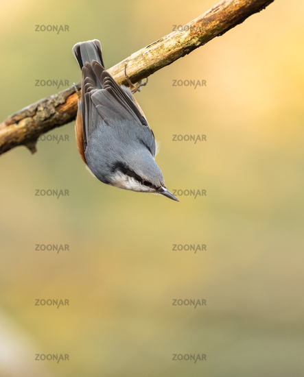 Eurasian Nuthatch, Sitta europaea, hanging upside down from a dead branch, vertical image