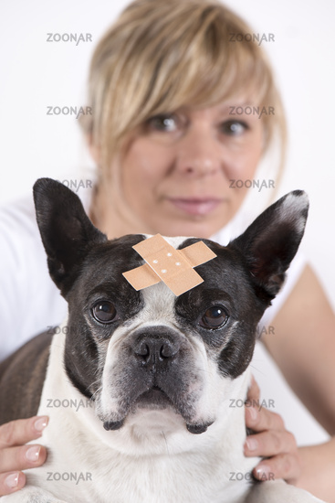 Boston Terrier with Wound Bandage at the Veterinary Surgeon