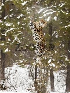 Amur Leopard In The Snow