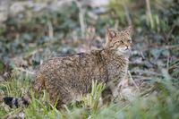 European Wildcat, Felis silvestris, Europaeische Wildkatze