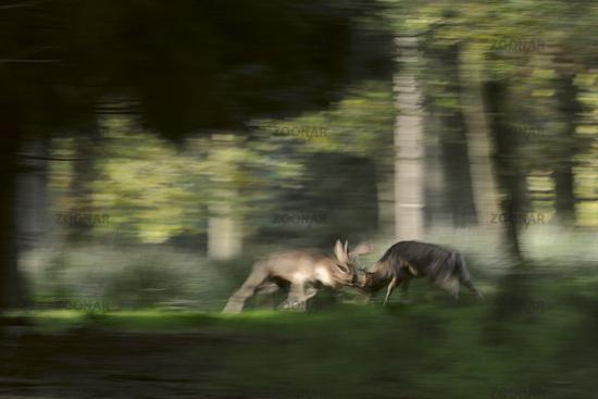 in hard fight... Fallow Deer *Dama dama*