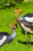 Grey Crowned Crane in Bali Island Indonesia