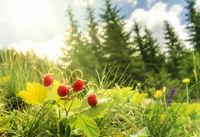 Wild strawberries bush  in a summer forest decor