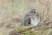 Short Eared Owl, Asio flammeus, Sumpfohreule