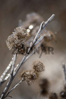Ice encrusted burdock after ice storm