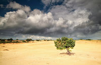 pine tree on sand over cloudy sky