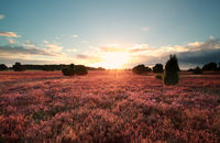 sunset over flowering heather