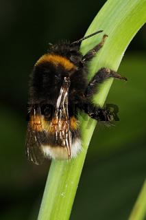 Bombus terrestris, Erdhummel, large earth bumblebee