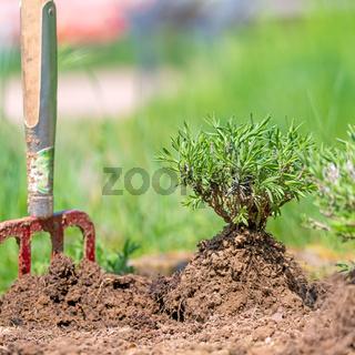 Einpflanzen einer Lavendel Pflanze in ein Gartenbeet mit einem im Boden steckenden Spaten.
