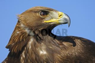 Steinadler, Portrait,  Aquila chrysaetos, Golden Eagle