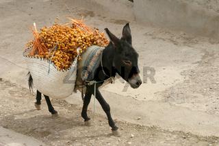 Dattelernte mit Esel