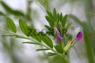 Common vetch, Vicia sativa, Saatwicke