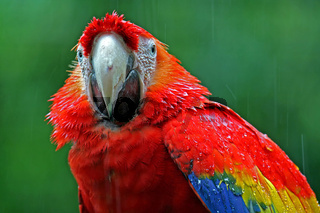 Papagei im Regen, Tropenvogel