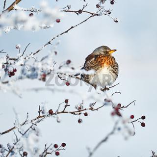 Wacholderdrossel im Winter