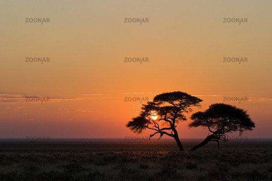 Umbrella Thorn Acacia at sunrise, Namibia, Africa