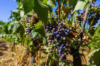 Ripe grapes in the Tuscany Italy