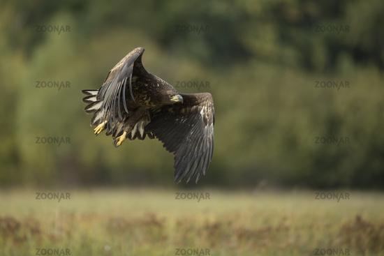 powerful... White-tailed Eagle *Haliaeetus albicilla*
