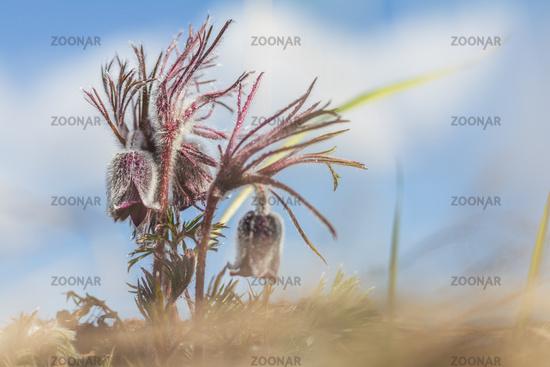 Eastern pasqueflower, prairie crocus, cutleaf anemone.