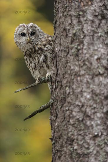 curious... Tawny Owl *Strix aluco*