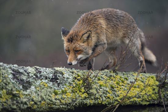 balancing over a fallen tree trunk... Red Fox *Vulpes vulpes*