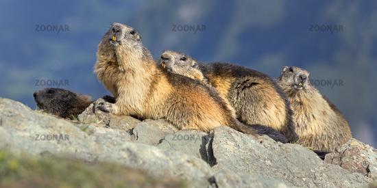 Alpine marmots (Marmota marmota), group, High Tauern National Park, Austria, Europe