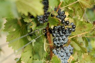 Grapes & Vines