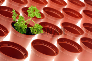 Parsley and flowerpots.