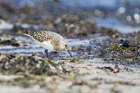 Sanderling looking for food