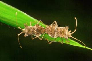 Bug mating, Unidentified , Aarey Milk Colony , INDIA
