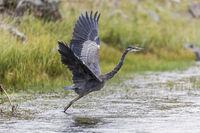 Great blue heron starting in rain