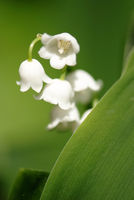 A closeup of lilies of the valley behind a green leaf