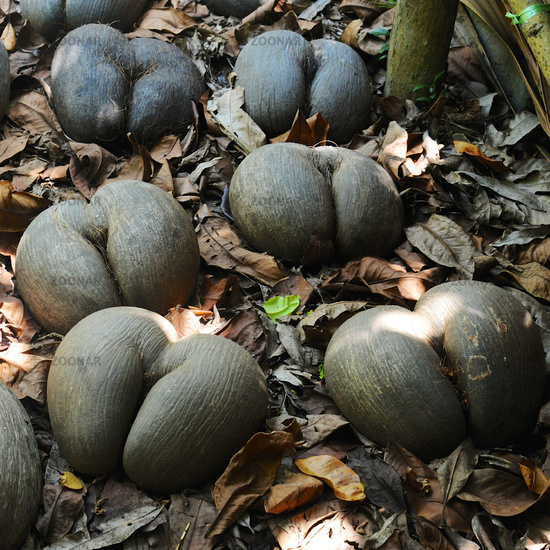 Famous Coco de Mer at the islands of Seychelles