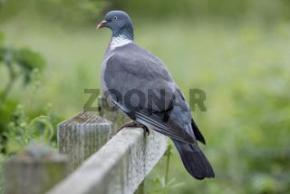 Proud Wood Pigeon