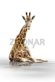 Giraffe wd72