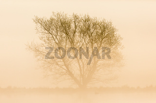 Misty morning with a lonely tree in silhouette