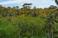 Rice fields Jatiluwih - Bali island Indonesia