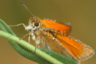 Butterfly Large Skipper (Ochlodes sylvanus).