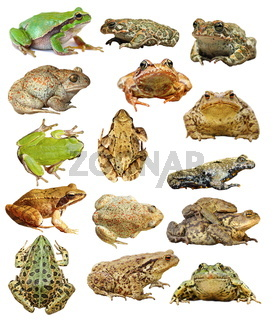 large collection of isolated frogs and toads ready for your design