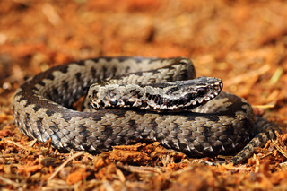 grey common crossed adder basking in natural environment ( Vipera berus )