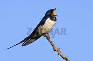 Rauchschwalbe, (Hirundo rustica), Barn swallow