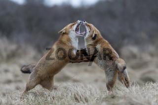 in heftigem Kampf... Rotfüchse *Vulpes vulpes*