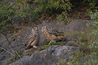 wary... Northern Eagle Owls *Bubo bubo*