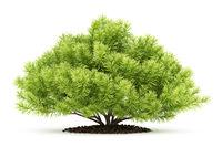 pine shrub plant isolated on white background