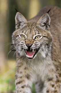 Fauchender Europaeischer Luchs (Lynx lynx), Bayern, Deutschland, hissing European lynx, bavaria, germany